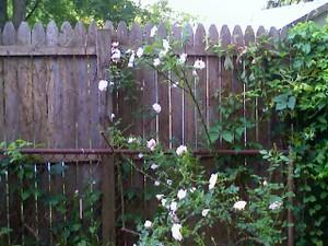 Backyard_bush